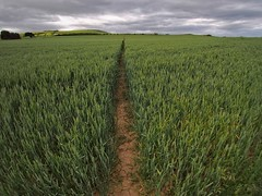 Crossing the field (Steve Brewer Photos) Tags: theclevelandway saltburn saltburnbythesea skinningrove northyorkshire crops wideangle cliffs footpath green wheat