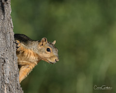 Hide and Seek (craig goettsch) Tags: squirrel mammal animal nature wildlife fountaincreekregionalpark colorado green tree peek nikon d500 sunrays5 coth5 ngc npc