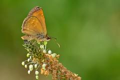 Erynnis tages (jotneb) Tags: natureza animais butterfly arlivre borboletas vidaselvagem portugal sol verão