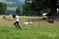 Chi vincerà... (Biagio ( Ricordi )) Tags: corsa gara animali capre italy malgaora lavazé cavalese fattoria