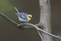 Brewsters Warbler (sspike@rogers.com) Tags: brewsters warbler hybrid steverossi nature wildlife ontario green canon