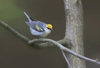 Brewsters Warbler