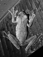 Frog (B&W) (jonhuskisson) Tags: frog amphibian animal nature wild wildlife costarica centralamerica travel backpacking blackwhite blackandwhite bw monochrome