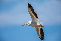 Pelican Fly-by (jeff_a_goldberg) Tags: americanwhitepelican wildlife nature bird birdinflight bif wisconsin pelecanuserythrorhynchos manitowocharbor lakemichigan manitowoc unitedstates us
