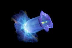 Canterbury Bell (C. Burrows) Tags: canterbury bell flower glowing luminous uvivf