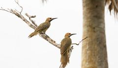 Fernandina's Flicker _ Colaptes fernandinae (Kremlken) Tags: endemic flickers woodpeckers zapata birds birding cuban pairs mating endemics species
