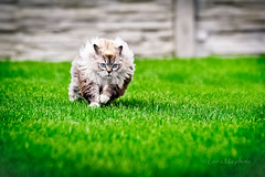 And we're running (Leo a Mia) Tags: cat run ragdoll