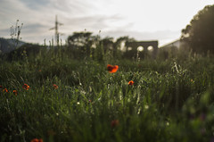modern and ancient (ΞSSΞ®®Ξ) Tags: ξssξ®®ξ pentax k5 spring 2017 green red light countryside lazio italy colors meadow field perspective outdoor depthoffield plant smcpentaxm50mmf17 grass poppy bokeh evening wheat landscape aqueduct
