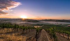 Cerreto Guidi (leoskar) Tags: sunrise landscapes lights fog vineyard tuscany toscane sun nikon nikonpassion nikkor travel italy sky
