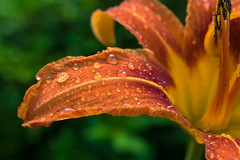 Petite Puddles (tquist24) Tags: indiana nikon nikond5300 outdoor bokeh color flower garden macro nature rain water waterdrops yard green lilly orange yellow