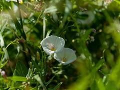 Ackerwinde - Convolvulus arvensis
