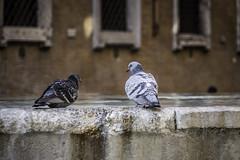 Pigeons, Roma (Tasmanian.Kris) Tags: krismccracken holidays italia itaalia itali ιταλία italië itálie italien italija إيطاليا итaлия איטליה włochy義大利 义大利意大利ایتالیا