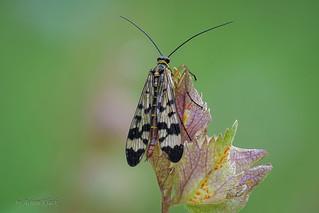 Gemeine Skorpionsfliege (Panorpa communis) Weibchen