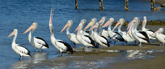 There's aways one. (Rick Elkins) Tags: bird birds pelicans water bay sunshine sea australia tasmania pelican rebel nonconformist crazy misfit troublemaker coast ocean thinkdifferent different