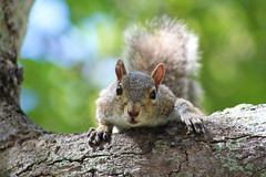 a look that could kill (andrewdickinson3) Tags: squirrel brown florida miami wildlife cute pounce scared interesed park bigeyes