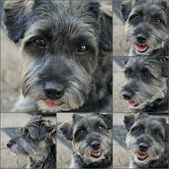The Many Faces of Abby (Sherrye's Art) Tags: abby canine k9 expressions cute happy picmonkey