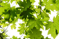 Under a Little Big Leaf Maple (Sotosoroto) Tags: dayhike hiking tigermountain forest tree branch leaf maple washington