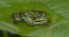 Green with an eye (joeke pieters) Tags: 1350039 panasonicdmcfz150 kikker frog groen green nat wet