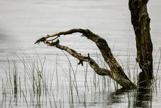 Sunken tree, Loch Garten