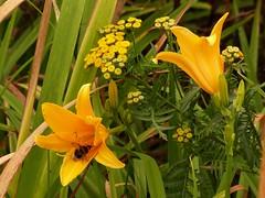P1450995 Lilies and Tansy (Christa_P) Tags: nature flowers flora blumen blüte blossom wildblumen wildflowers yellow gelb park mügapark tanacetumvulgare wurmkraut lilium