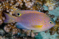 Princess Damsel - Pomacentrus vaiuli (zsispeo) Tags: pomacentridae pomacentrus vaiuli scuba diving tropical reef fish underwater macro macrophotography sea ocean holidays vacation summer beach relaxation d800e coral fauna wildlife wild geotagged science taxonomy travel sustainable life aquatic beautiful nature animal biology id identification souvenir living favorite natural padi rare saltwater turquoise blue conservancy quality escapade tourism wet outdoors damselfish damsel philippines panglao