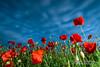 Poppies in the breeze .... (Mike Ridley.) Tags: poppies poppyfield poppy nature offcameraflash softbox sonya7r2 sony2470fegm mikeridley bluehour bluesky leefilters godox flash godoxx1ts goodtt600 godoxtt600 godoxtt685s