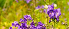 Bon Accord Terrace Gardens flower (red.richard) Tags: flower bon accord terrace gardens aberdeen scotland