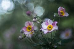 Japanese Anemone (hploeckl) Tags: anemone japanese diaplan meyergoerlitz bokeh mood nature
