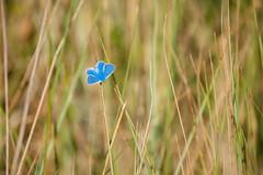 Icarus blauwtje (de_frakke) Tags: vlinder blauwtje icarus zee duinen gras dunes sea blue mariposa schmetterling butterfly noordzee