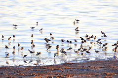 Avocets feeding in the morning ligh (Great Salt Lake Images) Tags: summer morning causeway shorebirds migratorybirds americanavocets greatsaltlake utah