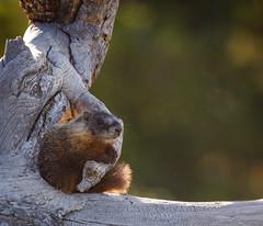 MY STICK (scepdoll) Tags: pilgrimcreekroad grandtetonnationalpark wyoming marmots wildlife findyourpark