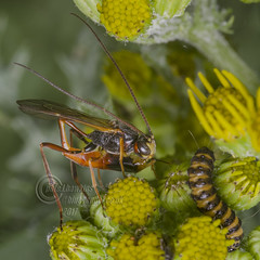 _IMG9484 Ichneumon Wasp attempting to predate a Cinnabar Moth Caterpillar (Pete.L .Hawkins Photography) Tags: ichneumon wasp attempting predate cinnabar moth caterpillar petehawkins petelhawkinsphotography petelhawkins petehawkinsphotography pentax 100mm macro pentaxpictures pentaxk1 fantasticnature fabulousnature incrediblenature naturephoto wildlifephoto wildlifephotographer naturesfinest unusualcreature naturewatcher insect invertebrate bug 6legs compound eyes creepy crawly uglybug bugeyes fly wings eye veins flyingbug flying