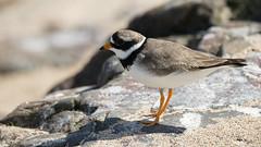 Common Ringed Plover (Rez Mole) Tags: common ringed plover charadriushiaticula