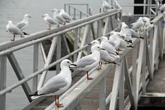Gulls at Newington (iansand) Tags: gull silvergull seagull newington ducksinarow gullsinarow