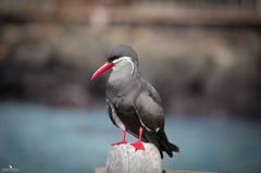 Rare Inca Tern (pbmultimedia5) Tags: inca tern bird wildlife animal pier san cristobal island galagos ecuador nature pbmultimedia rare