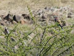P1150130 Zimbabwe (67) (archaeologist_d) Tags: zimbabwe stanleylivingstonesafarilodge lilacbreastedroller birdwatching africa southernafrica safari