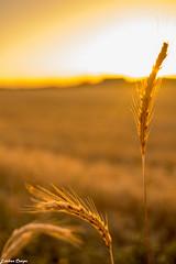 #InspiracionBdF17 (esteban.crespofernandez) Tags: verano puesta de sol trigo summer sunset wheat été blé coucher du soleil nikon d5200 salamanca pitiegua