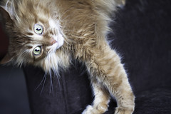 Wacky Wednesday Mandy (Photo Amy) Tags: adorable aminal canon50d cat cuddly cute cuteness ef50mm18 eartufts feline fluffy fur furry ginger kitten longhair longhaired orange pet precious red tabby toefur whisker whiskers