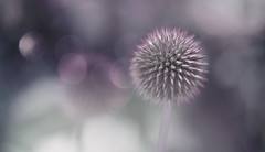 If you love life, life will love you back (z_a_r_a___c_a_l_i_s_t_a) Tags: bokeh flower nature depth pink grey dreamy soft d750 nikon globe thistle echinops ritro