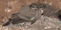 Phoebe chicks (JoelDeluxe) Tags: phoebe chick fledgling flycatcher newmexico southvalley animal bird joeldeluxe