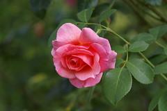 -BASK3934- (Baspherical) Tags: rose flower blossom blüte red nature pentax k1 200mm