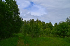 Glade with young birches (МирославСтаменов) Tags: russia moscowregion glade meadow sky cloudscape grass forest path