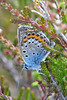 Silver-studded Blue (m) (Roy Lowry) Tags: silverstuddedblue rspbarne plebejusargus