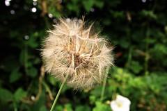 Taraxacum (stellagrimsdale) Tags: taraxacum dandelion seed head weed flora