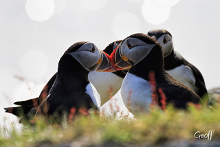 Puffins, Icebergs and Whales... just another day on the rock.