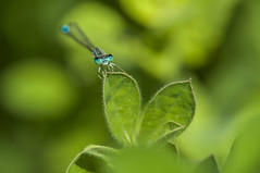 Blue look (Aristides Díaz) Tags: odonato zigóptero caballitodeldiablo macro insecto verde damselfly lagunasdelpadul sigmaapo180macrof56