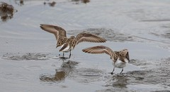 2U7A1434 (rpealit) Tags: scenery wildlife nature edwin b forsythe national refuge brigantine dunlin bird