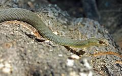 Eastern Montpellier Snake  (Malpolon insignitus) (Sky and Yak) Tags: eastern montpellier snake malpolon insignitus reptile corfu greece arillas naturalworld nature easternmontpelliersnake malpoloninsignitus