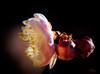 Flowering Apricot 梅花 Prunus Mume (eggwah123) Tags: olympus olympusem5 em5 mzuiko mzuiko60mmf28 mirrorless microfourthirds micro43 m43 m43m43 梅花 prunus prunusmume flower macro floweringapricot macroflowerlover pink pinkflower bokeh 梅 closeup primes primelens