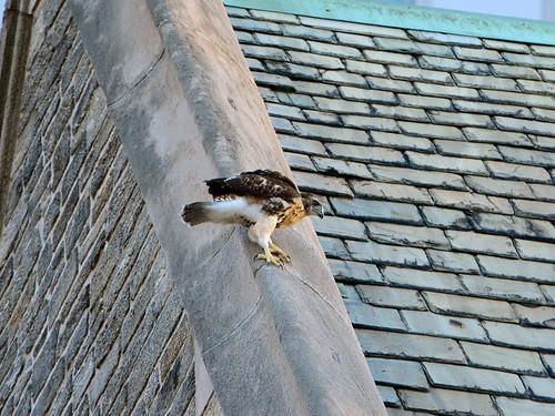 St John's Fledgling #2 - 6337